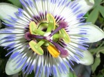 184 passionflower 167014