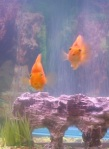 195 goldfish 45249