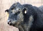 197 bull 218648