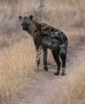 206 hyena 195623