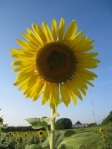241 sunflower 639224