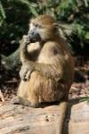 253 baboon 673408
