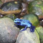 299 blue frog 869147