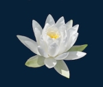 420 water lily 764460