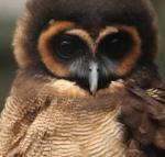 421 brown_wood_owl 900379