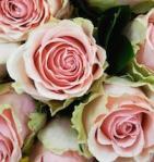 464 roses 898757