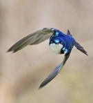 480 tree swallow 811203