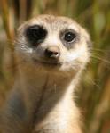 482 meerkat 815698
