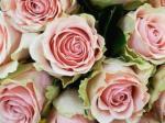 503 roses 898757