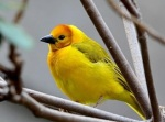 572 Golden Weaver 929637