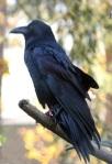 606 crow 872333