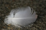 617 feather 897106