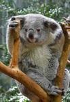 645 Koala 903705