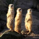 655 three_meerkats 893390