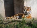849 tiger 658179