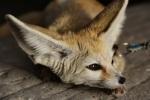 939 fox 877035
