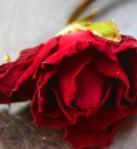 955 red rose 598092